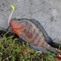 flatsfish